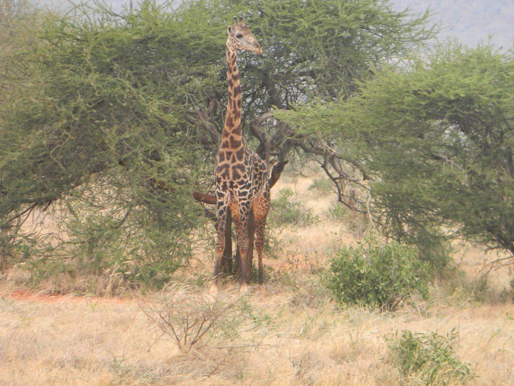 Giraffe in Kenia Urlaub 2017