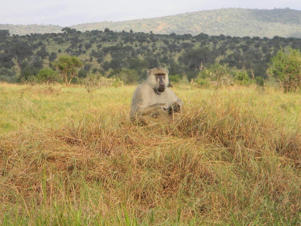 Affe in Kenia bei Safari 2016