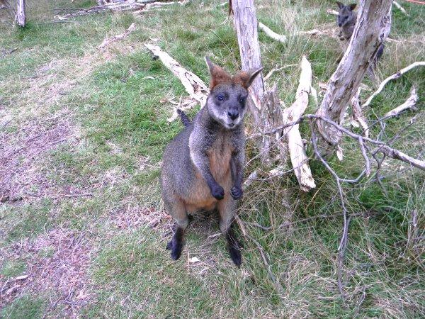 Känguru Australien