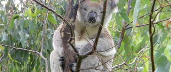 Australien Reise Koalabär