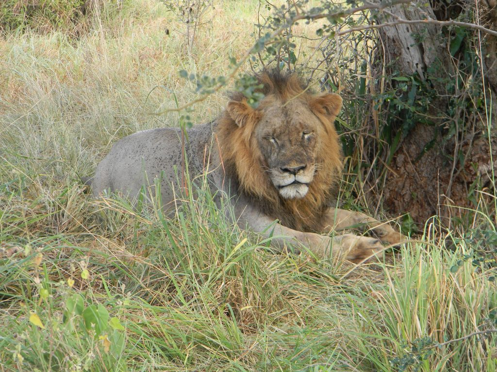 Löwe in Kenia - Lion in Kenia